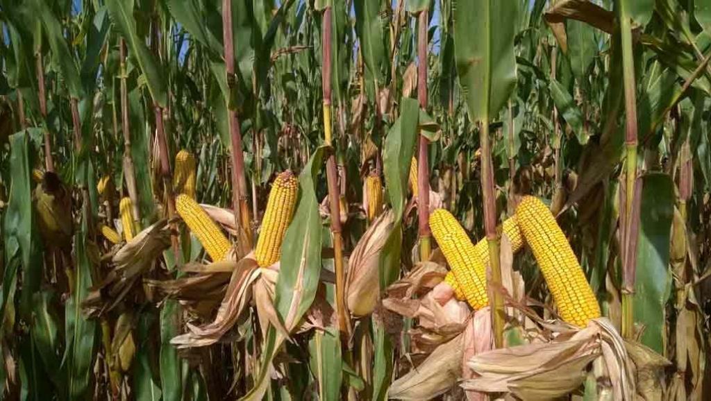 RDC: le ministère de l'Agriculture compte cultiver 33 000 hectares des produits vivriers en prévision de l'après covid-19.